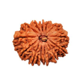 Thirteen Mukhi Rudraksha Bead - Nepal, regular