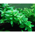 Tissue Culture Staurogyne repens - Live Aquarium Plant, 1 pack