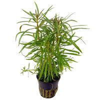 Tissue Culture Pogostemon stellatus - Live aquarium Plant, 1 pack