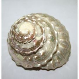 Natural Moti Shankh Mother Of Pearl Moti Conch